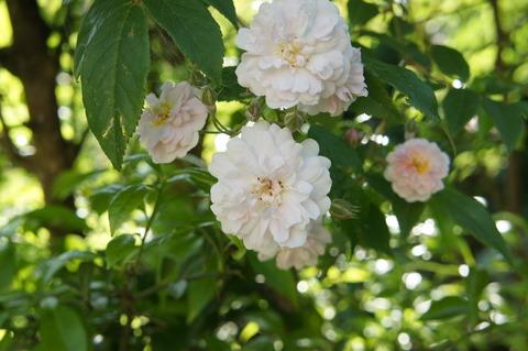 薔薇6-1ヒマラヤンムスク