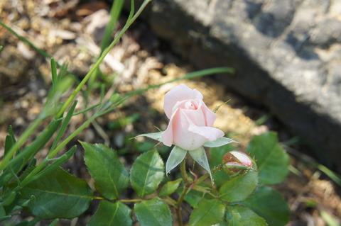 薔薇6-1優香