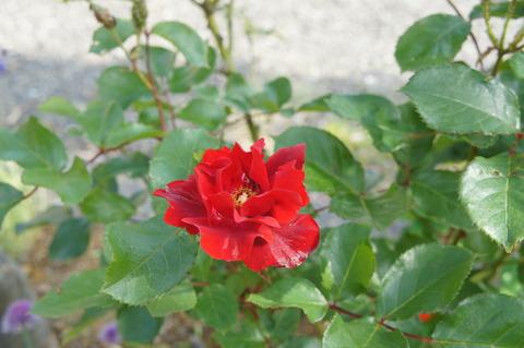 薔薇6-1アンダルシアン