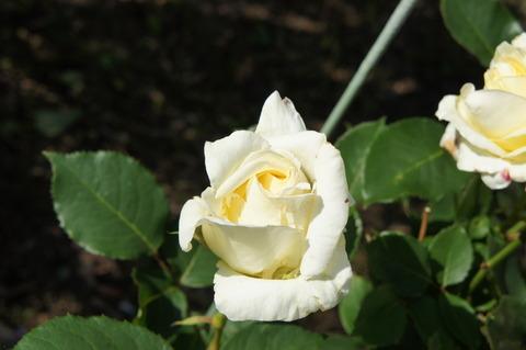 薔薇6-1ホワイトクリスマス