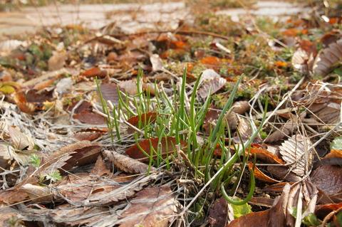チャイブの芽3-24