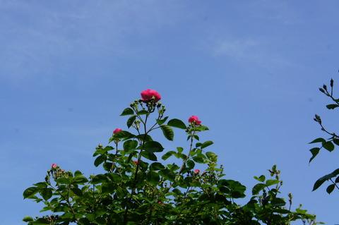 薔薇6-1アンジェラ