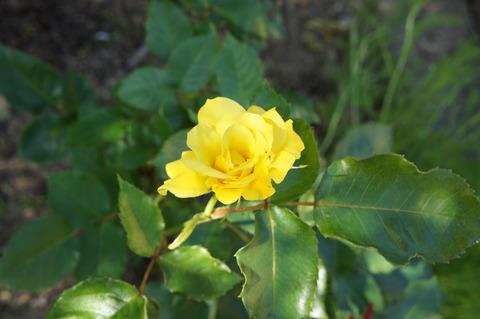 薔薇6-1