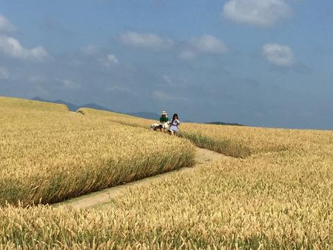 小麦畑に侵入する外国人女性3人組