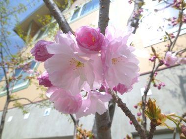 ◎◎丘八重桜◎◎