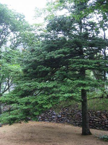 今日の草津温泉は・・・この木なんの木