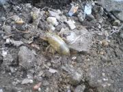今日の草津温泉は…蝉の幼虫