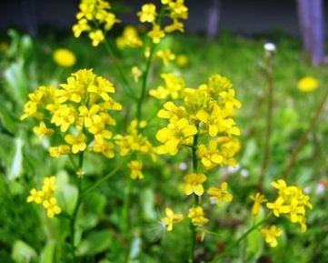 今日の草津温泉は…春咲山芥子・ムスカリ・たんぽぽ