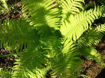 今日の草津温泉は…誠実なシダ植物