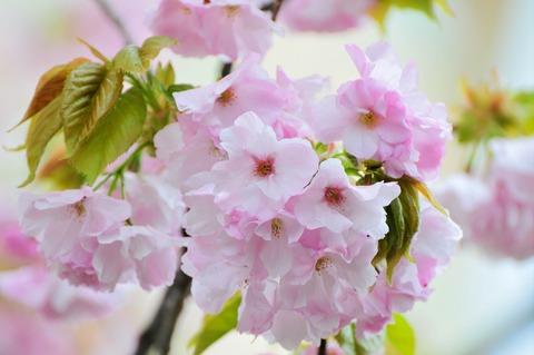 丘の桜 満開!