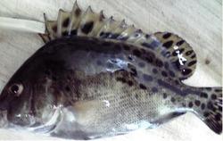 コショウ鯛