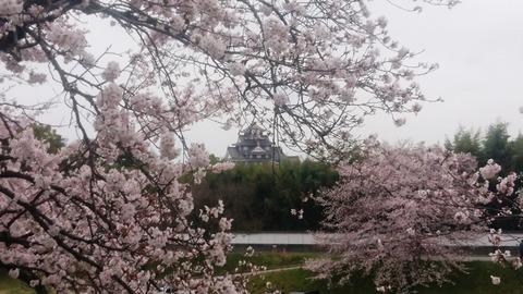 岡山城 と 桜DSC_0343 aa