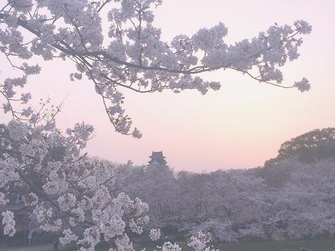 岡山城と桜と夕暮れ
