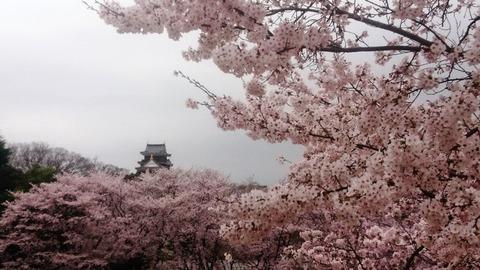 岡山城 と 桜DSC_0580 aa