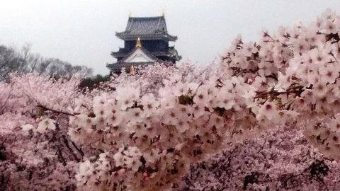 岡山城 と 桜DSC_0500 aa