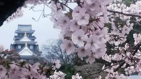岡山城 と 桜DSC_0568 aa
