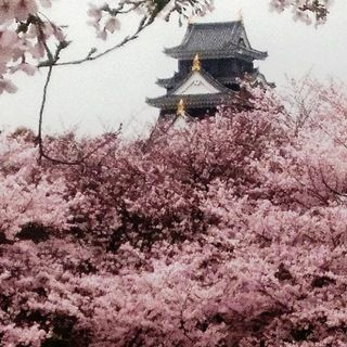 岡山城 と 桜 絶景 DSC_0379