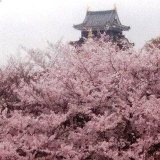 岡山城 と 桜 絶景 DSC_0364
