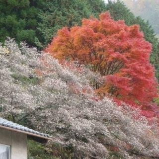 四季桜とモミジ 真庭 LL
