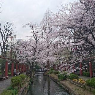 岡山 桜が満開 西川緑道公園 www