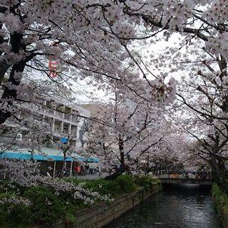 岡山 桜が満開 西川緑道公園 w