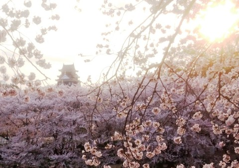 岡山城 さくら in夕日DSC_0414