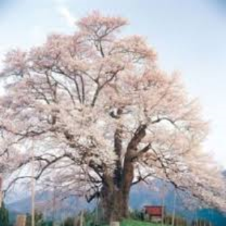 「醍醐桜まつり」