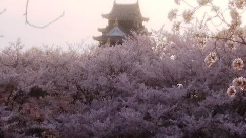 岡山城 と 桜 畑DSC_0396 - コピー