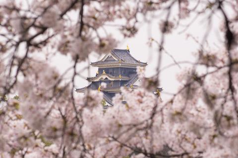 岡山城 桜 の季節