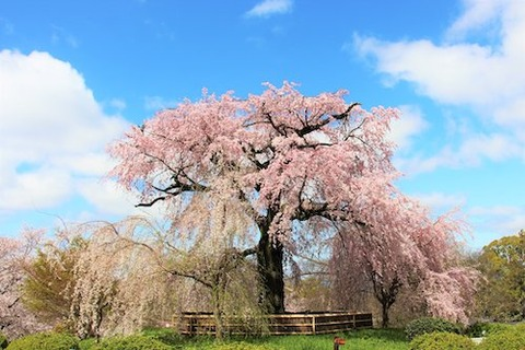 京都 円山公園 祇園の桜00