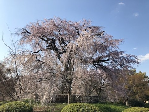 京都 祇園の桜
