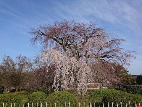 京都 祇園の桜00