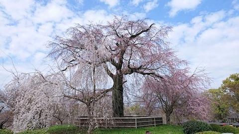 京都 円山公園 祇園の桜