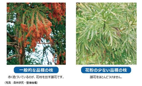 花粉の少ない杉-タマホーム