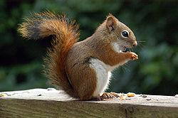 250px-AmericanRedSquirrel
