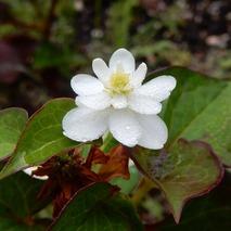 170623 庭の花  (4)