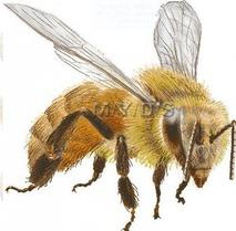 蜂のイラスト  (9)