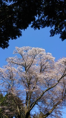 鹿野 金松桜  (5)