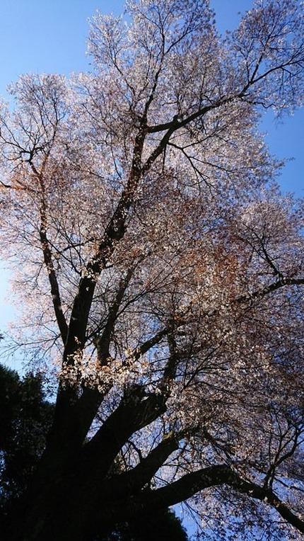 鹿野 金松桜  (6)