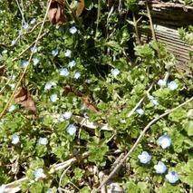 180310 西谷の花  (16)