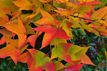 タイワンフウ-紅葉