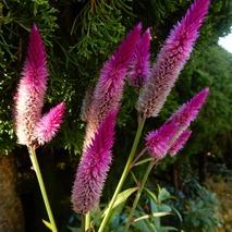 161111 庭の花 (18)