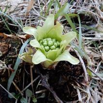 180310 西谷の花  (8)