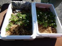 0200425 山野草のエキ アズマイチゲ植え付け (1)