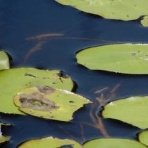 200616 鹿野ジュンサイの池 (3)-1