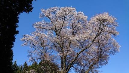 鹿野 金松桜  (1)