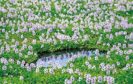 200110 ホテイアオイの花 (2)
