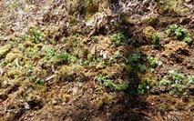 0200425 山野草のエキ アズマイチゲ植え付け (10)