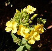 180310 西谷の花  (12)