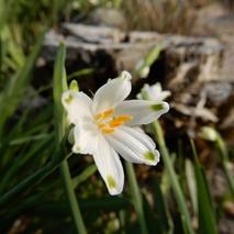 190328  庭の花  (5)